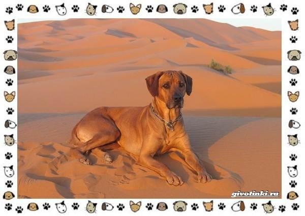 Родезийский-риджбек-порода-собак-Описание-особенности-уход-и-цена-5