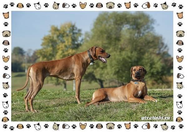 Родезийский-риджбек-порода-собак-Описание-особенности-уход-и-цена-6