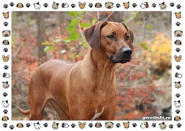 Родезийский-риджбек-порода-собак-Описание-особенности-уход-и-цена-7
