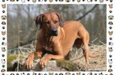 Родезийский риджбек порода собак. Описание, особенности, уход и цена