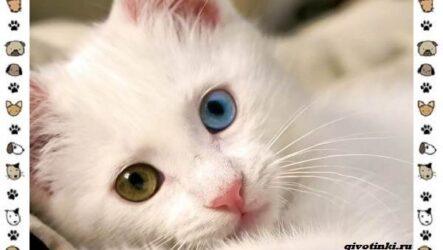 Турецкая ангора кошка. Описание, особенности, уход, фото и цена породы