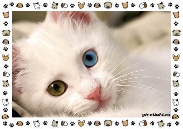 Турецкая-ангора-кошка-Описание-особенности-уход-фото-и-цена-породы-1