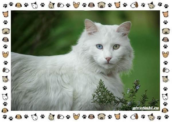 Турецкая-ангора-кошка-Описание-особенности-уход-фото-и-цена-породы-10