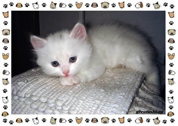 Турецкая-ангора-кошка-Описание-особенности-уход-фото-и-цена-породы-12