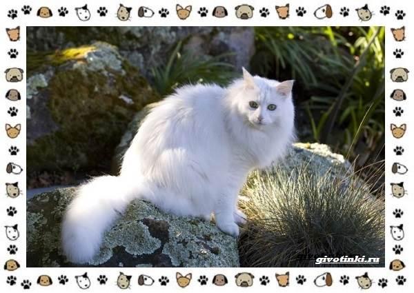 Турецкая-ангора-кошка-Описание-особенности-уход-фото-и-цена-породы-14