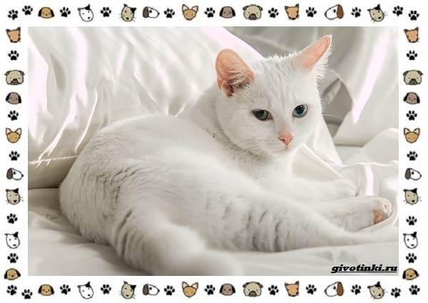 Турецкая-ангора-кошка-Описание-особенности-уход-фото-и-цена-породы-4