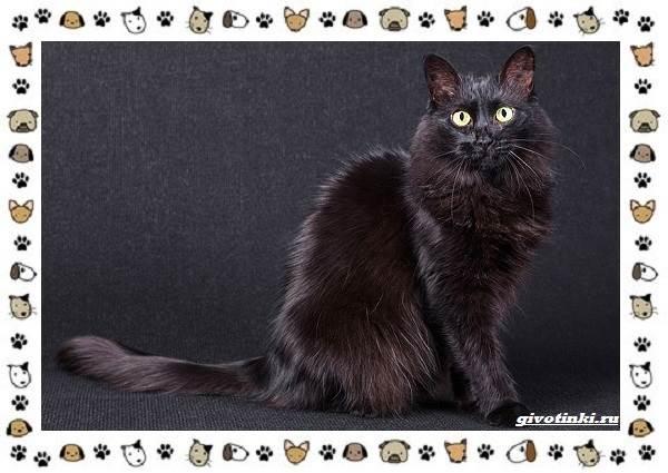 Турецкая-ангора-кошка-Описание-особенности-уход-фото-и-цена-породы-6