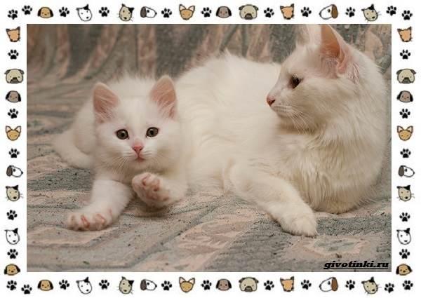 Турецкая-ангора-кошка-Описание-особенности-уход-фото-и-цена-породы-9