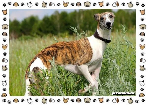 Уиппет-собака-Описание-особенности-характер-уход-фото-и-цена-породы-1
