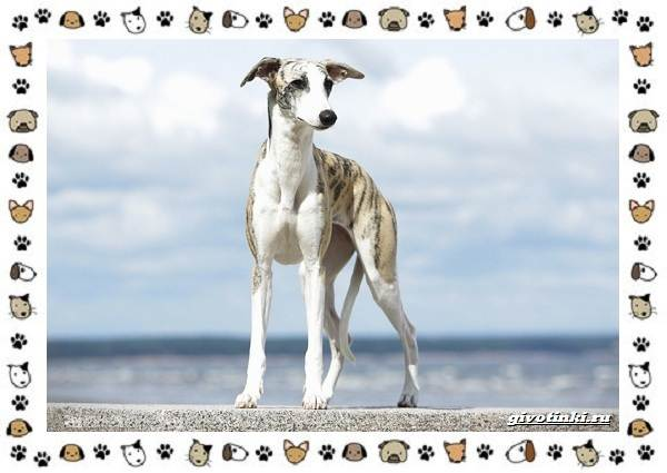 Уиппет-собака-Описание-особенности-характер-уход-фото-и-цена-породы-10