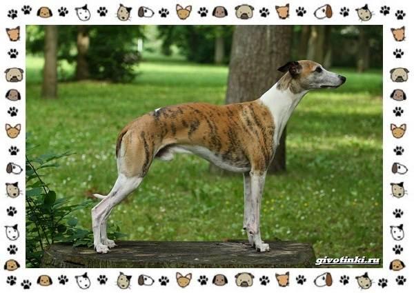 Уиппет-собака-Описание-особенности-характер-уход-фото-и-цена-породы-11