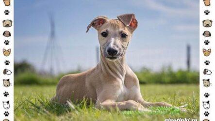 Уиппет собака. Описание, особенности, характер, уход, фото и цена породы