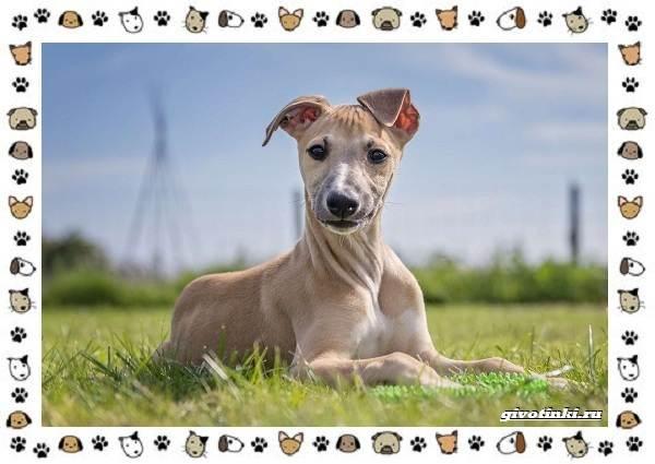 Уиппет-собака-Описание-особенности-характер-уход-фото-и-цена-породы-12