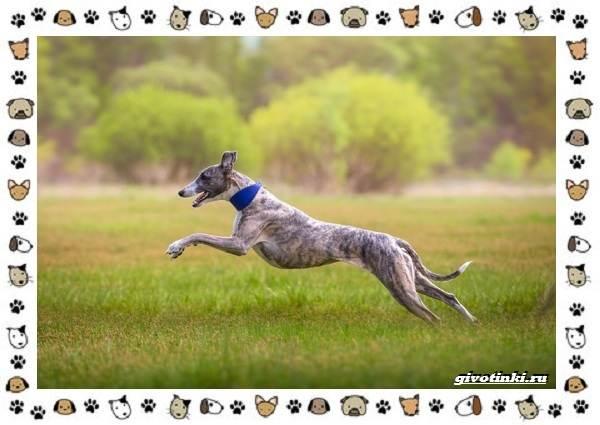 Уиппет-собака-Описание-особенности-характер-уход-фото-и-цена-породы-2