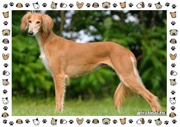 Уиппет-собака-Описание-особенности-характер-уход-фото-и-цена-породы-5