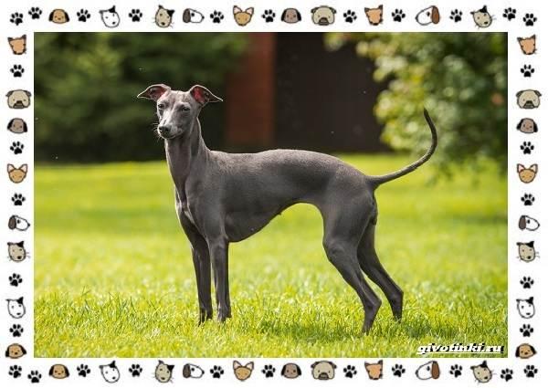 Уиппет-собака-Описание-особенности-характер-уход-фото-и-цена-породы-6
