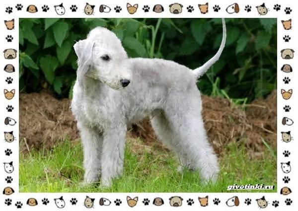 Уиппет-собака-Описание-особенности-характер-уход-фото-и-цена-породы-7