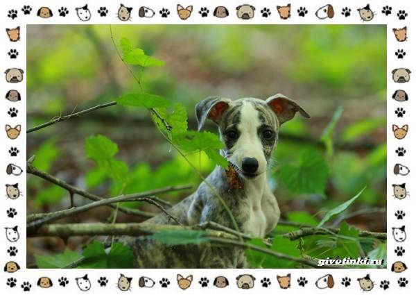 Уиппет-собака-Описание-особенности-характер-уход-фото-и-цена-породы-8