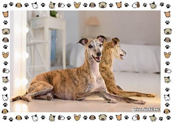 Уиппет-собака-Описание-особенности-характер-уход-фото-и-цена-породы