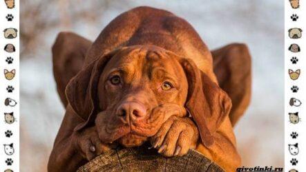 Венгерская выжла порода собак. Описание, особенности, уход и цена