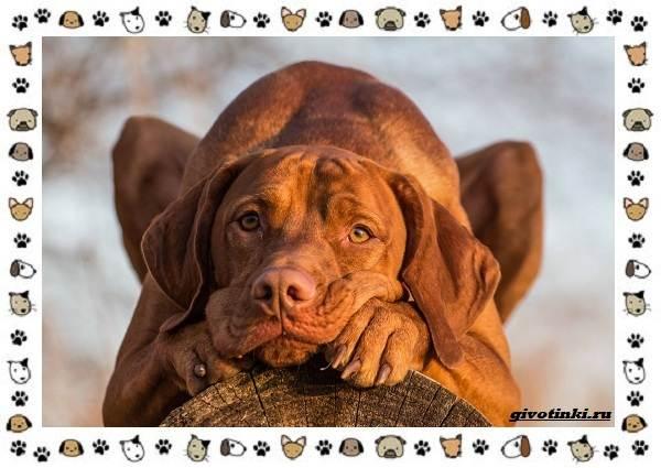 Венгерская-выжла-порода-собак-Описание-особенности-уход-и-цена-10
