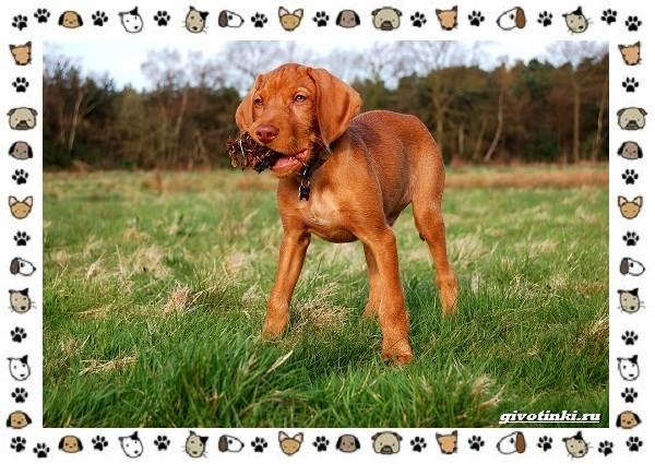Венгерская-выжла-порода-собак-Описание-особенности-уход-и-цена-11