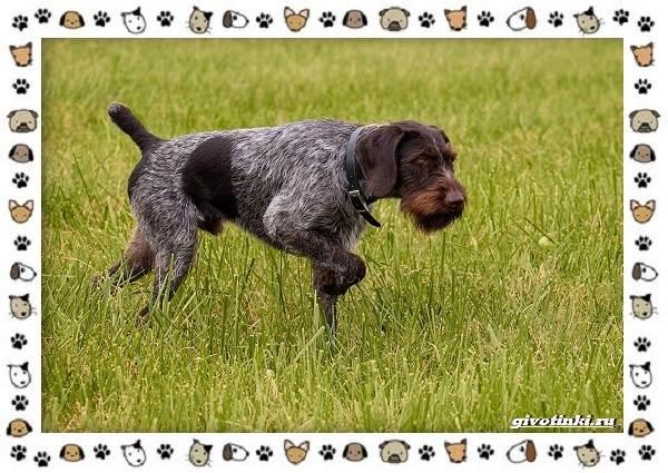 Венгерская-выжла-порода-собак-Описание-особенности-уход-и-цена-12