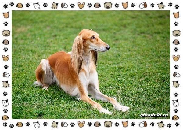 Венгерская-выжла-порода-собак-Описание-особенности-уход-и-цена-13