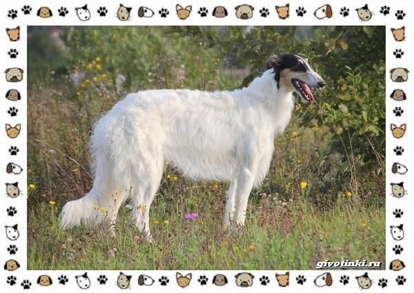 Венгерская-выжла-порода-собак-Описание-особенности-уход-и-цена-14