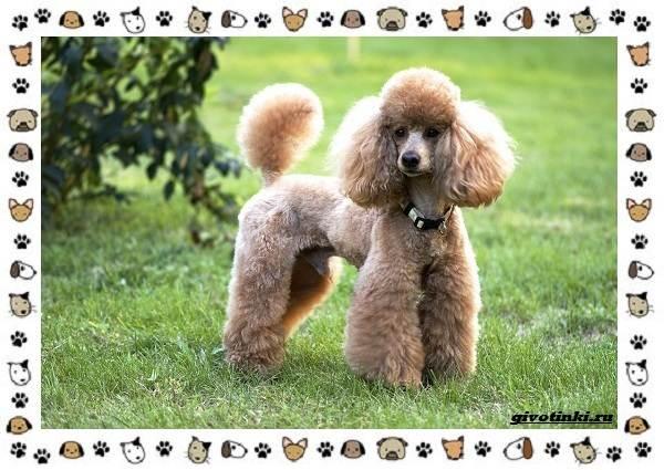 Венгерская-выжла-порода-собак-Описание-особенности-уход-и-цена-15