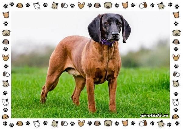 Венгерская-выжла-порода-собак-Описание-особенности-уход-и-цена-16