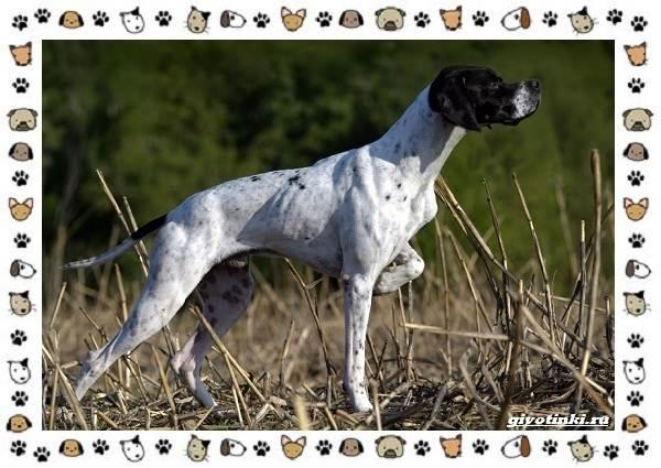 Венгерская-выжла-порода-собак-Описание-особенности-уход-и-цена-17