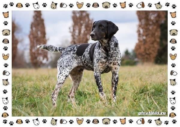 Венгерская-выжла-порода-собак-Описание-особенности-уход-и-цена-18