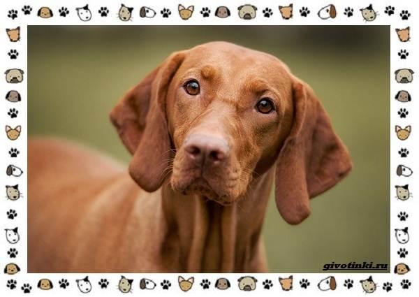 Венгерская-выжла-порода-собак-Описание-особенности-уход-и-цена-2