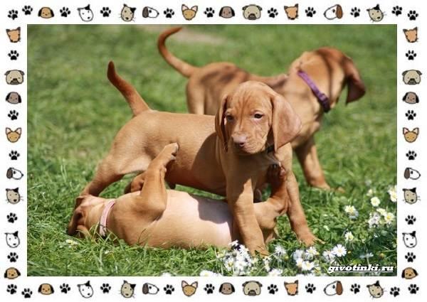 Венгерская-выжла-порода-собак-Описание-особенности-уход-и-цена-3