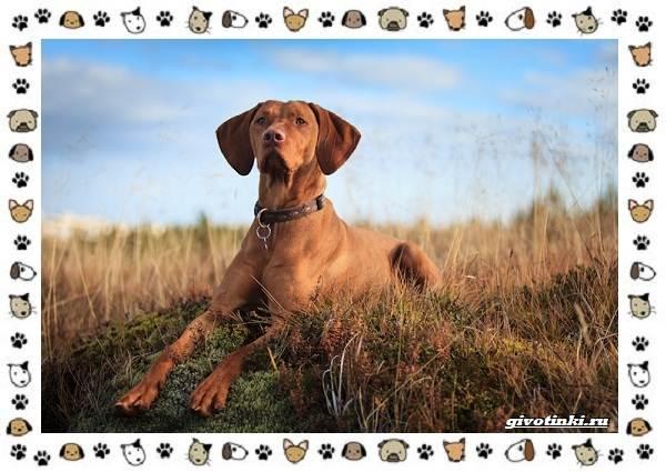 Венгерская-выжла-порода-собак-Описание-особенности-уход-и-цена-4