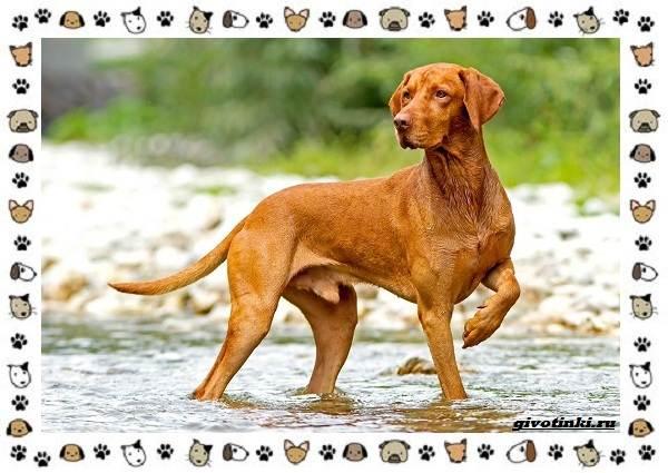Венгерская-выжла-порода-собак-Описание-особенности-уход-и-цена-5