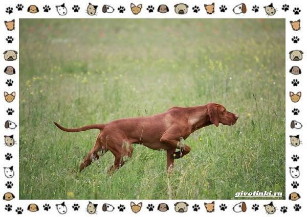 Венгерская-выжла-порода-собак-Описание-особенности-уход-и-цена-7