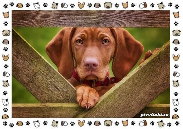 Венгерская-выжла-порода-собак-Описание-особенности-уход-и-цена-8
