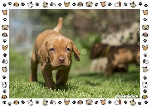 Венгерская-выжла-порода-собак-Описание-особенности-уход-и-цена-9
