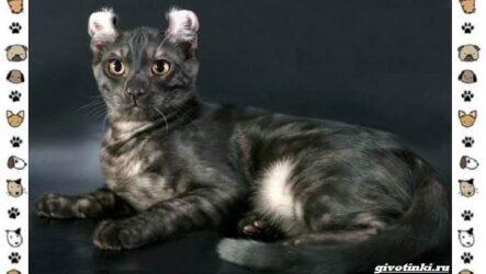 Американский керл — порода кошек. Описание, особенности, характер и фото