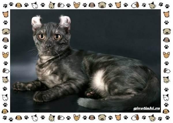 Американский-керл-порода-кошек-Описание-особенности-характер-и-фото-1