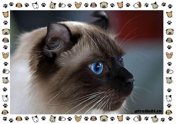 Американский-керл-порода-кошек-Описание-особенности-характер-и-фото-10