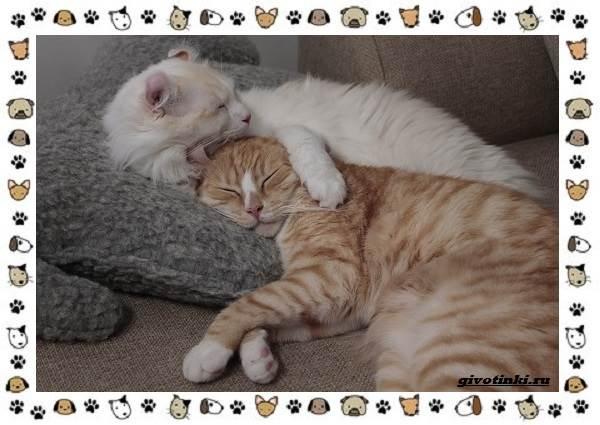 Американский-керл-порода-кошек-Описание-особенности-характер-и-фото-11