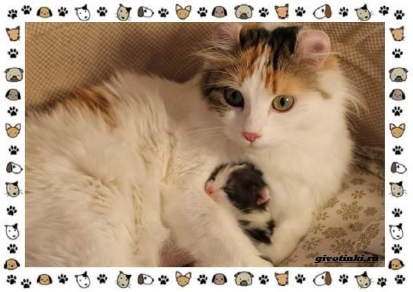 Американский-керл-порода-кошек-Описание-особенности-характер-и-фото-12