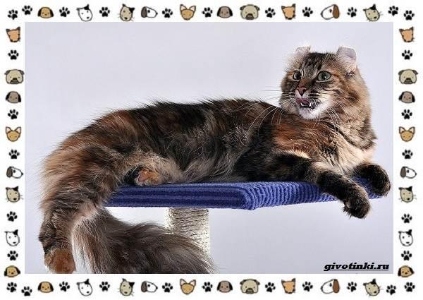 Американский-керл-порода-кошек-Описание-особенности-характер-и-фото-14