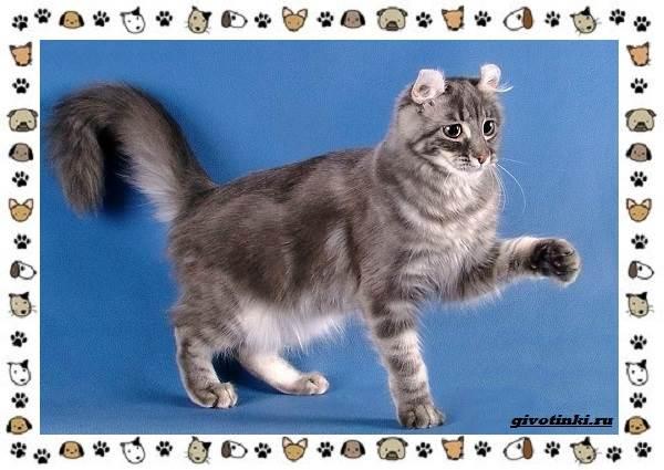 Американский-керл-порода-кошек-Описание-особенности-характер-и-фото-15