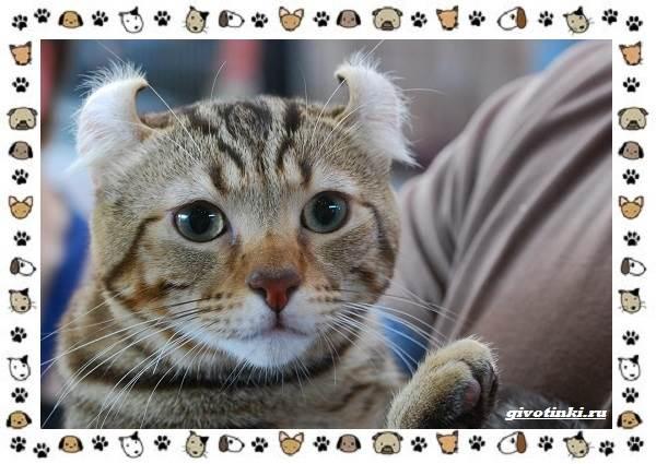 Американский-керл-порода-кошек-Описание-особенности-характер-и-фото-2