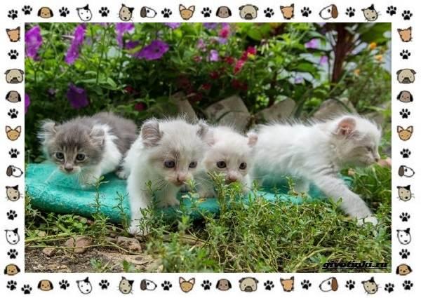Американский-керл-порода-кошек-Описание-особенности-характер-и-фото-3