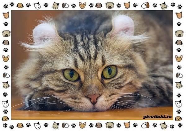 Американский-керл-порода-кошек-Описание-особенности-характер-и-фото-4